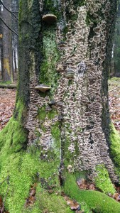 Pilzbefall am Baumstumpf